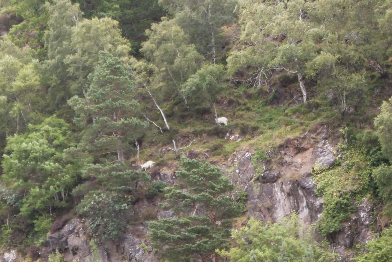 Loch Ness, mutige Bergziegen